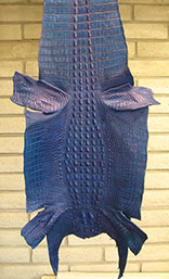 Grade #1 And Hand Dyed Harley Davidson Pacific Blue Pearl Hornback American Alligator Hide. 48cm. Width